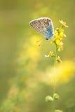 Gemeenschappelijk Blauw mannetje (Polyommatus Icarus) Stock Fotografie