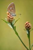 Gemeenschappelijk Blauw wijfje (Polyommatus Icarus) Royalty-vrije Stock Foto's