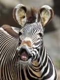 Gemeenschappelijk of burchells gestreept Kenia, Afrika Royalty-vrije Stock Afbeeldingen