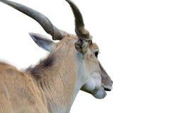 Gemeenschappelijk die elandantilopehoofd van rug op witte achtergrond wordt geïsoleerd royalty-vrije stock fotografie