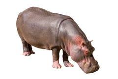Gemeenschappelijk die nijlpaard op witte achtergrond wordt geïsoleerd stock foto's