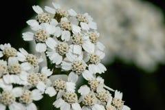 Gemeenschappelijk Duizendblad (Achillea Millefolium) in bloei Stock Foto