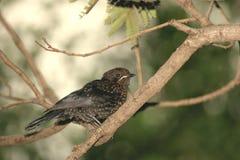 Gemeenschappelijk (Europees) Starling-wijfje Stock Foto