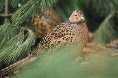 Gemeenschappelijk fazantwijfje Royalty-vrije Stock Foto's