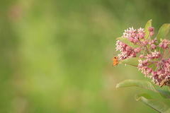 Gemeenschappelijk milkweed met Monarchvlinder Stock Afbeelding