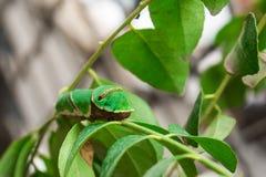 Gemeenschappelijk Mormoons Caterpillar Royalty-vrije Stock Foto