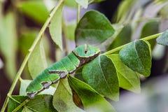 Gemeenschappelijk Mormoons Caterpillar Royalty-vrije Stock Fotografie