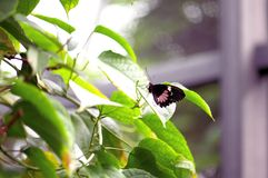 Gemeenschappelijk nam vlinder, Pachliopta-aristolochiae, Florida toe Stock Afbeelding