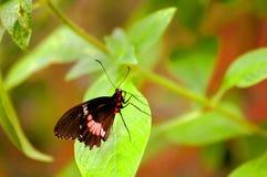 Gemeenschappelijk nam vlinder toe (Pachliopta-aristolochiae) Stock Foto's