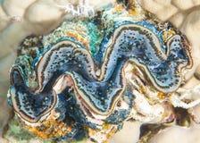 Gemeenschappelijk reuzetweekleppig schelpdier op koraalrif royalty-vrije stock foto