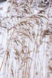 Gemeenschappelijk riet in de ijzige koude winter Ijzig stro Vorsttemperaturen in aard stock foto's