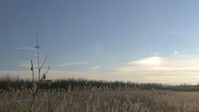 Gemeenschappelijk riet Phragmites australis in de winter met sneeuw De vroege Lente in Letland stock video
