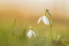 Gemeenschappelijk sneeuwklokje (Galanthus-nivalis) Stock Foto's