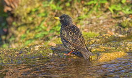 Gemeenschappelijk starling badwater Stock Foto's
