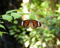 Gemeenschappelijk Tiger Butterfly Stock Foto's