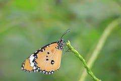 Gemeenschappelijk TIger Butterfly Royalty-vrije Stock Foto