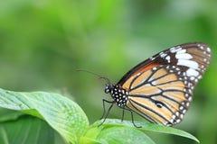 Gemeenschappelijk TIger Butterfly Royalty-vrije Stock Afbeelding
