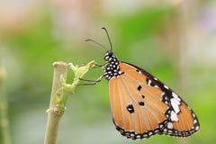 Gemeenschappelijk TIger Butterfly Stock Fotografie