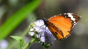 Gemeenschappelijk TIger Butterfly stock footage