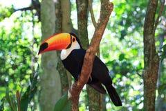 (Gemeenschappelijk) Toco Toucan op boom Royalty-vrije Stock Afbeeldingen