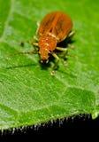 Gemeenschappelijk tuininsect Royalty-vrije Stock Foto