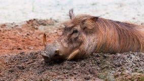Gemeenschappelijk Wrattenzwijn royalty-vrije stock afbeelding