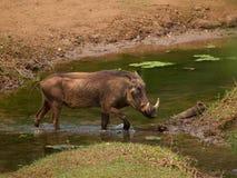 Gemeenschappelijk wrattenzwijn Stock Foto