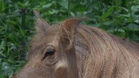 Gemeenschappelijk wrattenzwijn in modder - KLEM 3 - close-up van oor en oog stock video