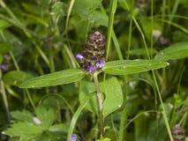 Gemeenschappelijk zelf-heel, Prunella Vulgaris, bloem en bladeren macro, selectieve nadruk, ondiepe DOF stock afbeeldingen
