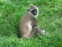 Gemeenschappelijke aap in de lankan bossen van Sri royalty-vrije stock afbeeldingen