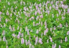 Gemeenschappelijke Adderwortel (officinalis Bistorta) Royalty-vrije Stock Afbeeldingen
