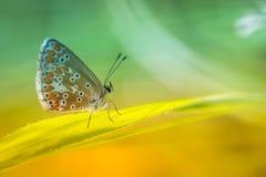 gemeenschappelijke azuurblauw van het vlinderinsect in de zomerclose-up in een weide op gele en groene achtergronden in daglicht stock fotografie