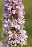Gemeenschappelijke bevlekte orchidee Royalty-vrije Stock Fotografie