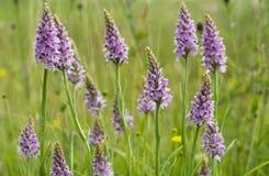 Gemeenschappelijke bevlekte orchidee Stock Afbeeldingen