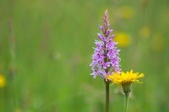 Gemeenschappelijke bevlekte orchidee (Dactylorhiza-fuchsii) en paardebloem (Tara royalty-vrije stock foto