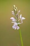 Gemeenschappelijke bevlekte orchidee/Fuchs ` Knabenkraut/Dactylorhiza-fuchsii Royalty-vrije Stock Afbeeldingen
