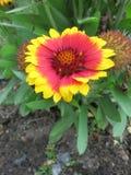 Gemeenschappelijke blanketflower of Gemeenschappelijke gaillardia Royalty-vrije Stock Afbeelding