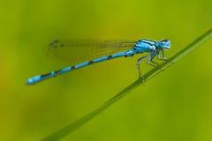 Gemeenschappelijke Blauwe Damselfly (cyathigerum Enallagma) stock fotografie