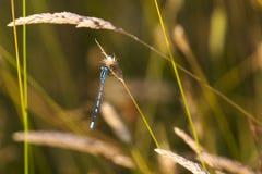 Gemeenschappelijke Blauwe Juffervlieg Stock Foto's