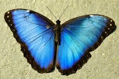 Gemeenschappelijke Blauwe Morpno Vlinder, Morpho peleides Royalty-vrije Stock Afbeeldingen