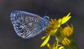 Gemeenschappelijke blauwe vlinder stock foto