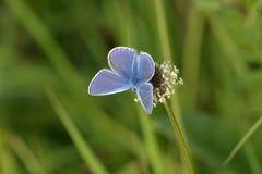 Gemeenschappelijke blauwe vlinder Stock Afbeeldingen