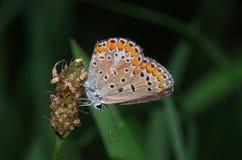 Gemeenschappelijke blauwe vlinder die (Polyommatus Icarus) op een bloem rusten Royalty-vrije Stock Fotografie