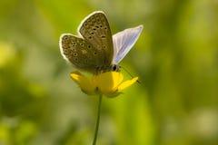 Gemeenschappelijke blauwe vlinder op een boterbloem Royalty-vrije Stock Fotografie