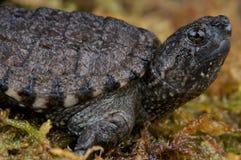 Gemeenschappelijke brekende schildpad stock foto's