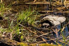 Gemeenschappelijke Brekende Schildpad stock afbeelding