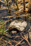 Gemeenschappelijke Brekende Schildpad stock afbeeldingen