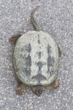 Gemeenschappelijke brekende schildpad die op betonweg, hoogste meningsclose-up zonnebaden Stock Afbeeldingen