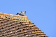 Gemeenschappelijke Britse pidgeon Stock Afbeelding
