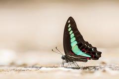Gemeenschappelijke bromvlieg (Graphium sarpedon) Vlinder stock afbeelding